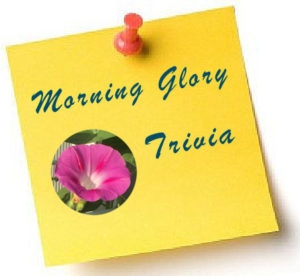 09-morning-glory-trivia