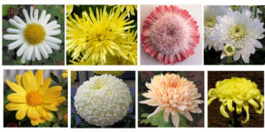 sample-of-chrysanthemums